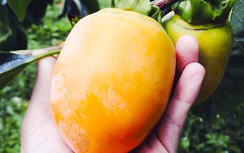 こだわりの柿